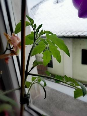 sadika paradižnika