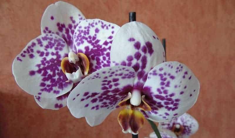 nega orhidej