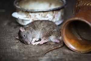 sanje o mrtvi podgani